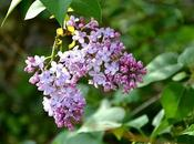 fiore mese: Syringa vulgaris