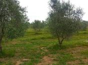 """Prof. Giovanni Paolo Martelli: """"Non sentiamo ancora dire certezza Xylella fastidiosa l'unico responsabile disseccamento rapido dell'olivo siamo fiduciosi poterlo dimostrare entro breve, anche agli agnostici."""""""
