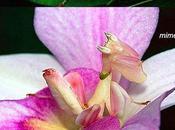 Mantide orchidea Hymenopus coronatus