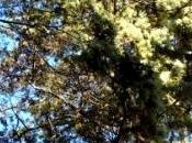 CUPRALBA, antico Liquore cime fiorite cipresso argentato