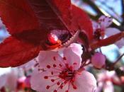 Cherry Plum, fiore Bach chiarezza fronte alle proprie pulsioni