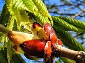 Chestnut Bud, fiore Bach teste dure