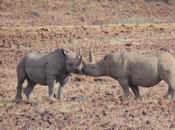 corsa salvare rinoceronti