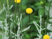 Santolina (Santolina chamaecyparissus L.), buongiorno giardinieri!