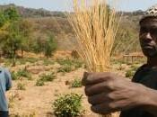 Cereali tuberi antichi