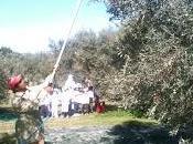 Nuovi corsi olivicoltura olive tavola Italia.