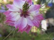 Seeds garden_Nigella damascena: ballerina light tutu.