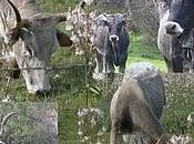 Salento leccese c'erano solo bovini razza Podolica