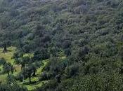 Come coltiva l'olivo Morciano Leuca (Lecce)