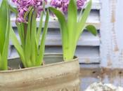 Come coltivare giacinto