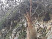 altro lupo ucciso Gargano