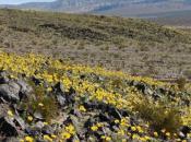 Usa: fiorito deserto della Valle Morte!