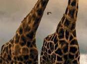 Schema punto croce: Giraffe