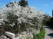 macchia mediterranea: trionfo bianco