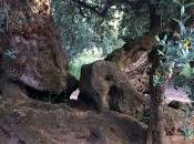 disseccamento degli olivi interessa chilometri territorio ogni anno