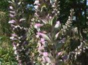 Nuova specie flora abruzzese. Acanto spinoso trovato vastese