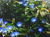 Ipomoea caerulea 'Heavenly Blue'