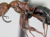 Colonia Camponotus lateralis: aggiornamento