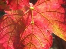 Arrossan foglie, calici loro