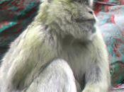 Primati (Bertuccia Gorilla)