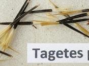 Tagetes Patula (Tagete): semina