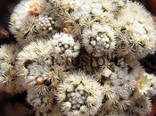 Mammillaria vetula ssp. gracilis arizona snowcap