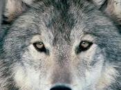 """Piano conservazione gestione lupo, Emiliano Puglia contro l'abbattimento"""""""