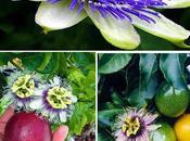 fiore della passione...Passiflora