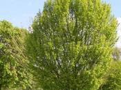 Gemmoderivati: Carpinus Betulus