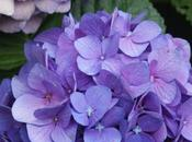 Ortensia Hydrangea