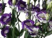 lisianthus, fiore arreda