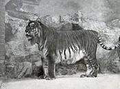 ritorno della tigre Caspio