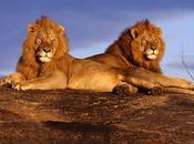 triste declino della savana, perso leoni popolavano continente africano