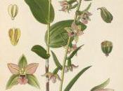 Eplpactis helleborine: orchidea selvatica
