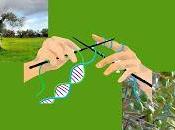 salvare olivi biodiversità vogliono (Organismi geneticamente modificati)