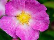 Tipi Rose classificazione delle