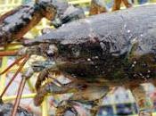 Svizzera stop alla cottura delle aragoste vive...una vittoria metà