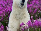 L'orso polare passeggia fiori... bene