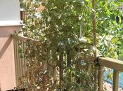 Piselli vaso: fine stagione