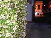 uccidi (Rhyncospermum jasminoides)