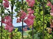 Rose cespuglio: Consigli, Coltivazione Cura Banksiae
