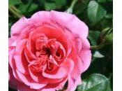 importanti ibridatori rose Piante Perenni