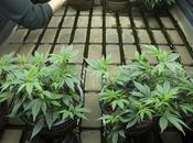 Come usare sostanze nutritive cannabis