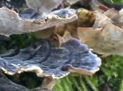 Funghi medicinali natura Trametes Versicolor