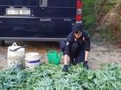 Crotone: scoperta piantagione piante marijuana Papanice