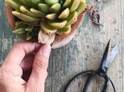 succulente rosetta
