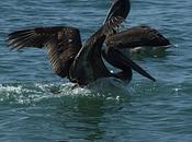 marea nera: salvate uccelli!