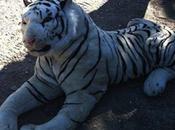 Poliziotti cacciano tigre bianca: peluche!