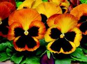 sfumature viole