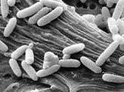 Continua contagio Escherichia coli, batterio killer